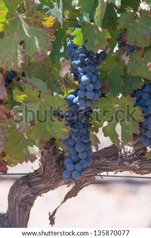Grape bunches hanging from vine. - stock photo