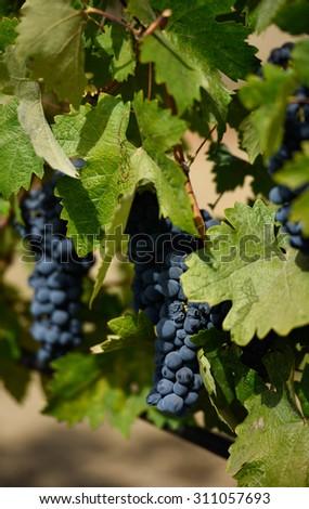 Grape Clusters - stock photo