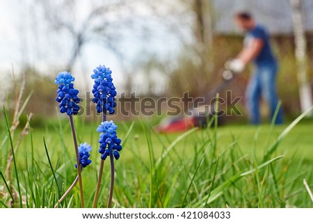 Grape hyacinth flowers closeup and a man mowing lawn in the background                             - stock photo