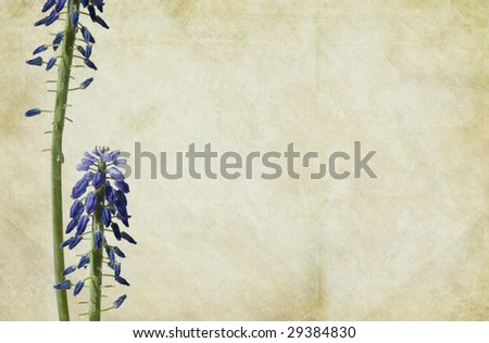 Grape-Hyacinth flowers on a vintage textured background. - stock photo