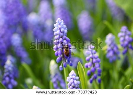 Grape hyacinth in spring - stock photo