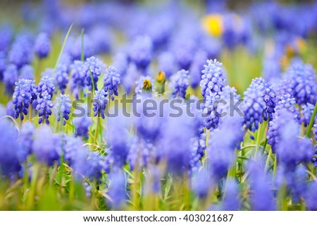 Grape hyacinths in bloom in a garden with overbolwn dandelions. - stock photo