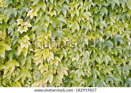 grape ivy, boston ivy, parthenocissus tricuspidata, vitaceae - stock photo