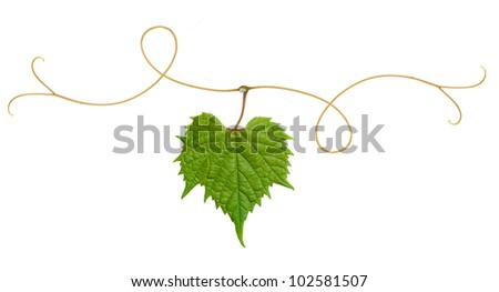 grape leaf on a branch - stock photo