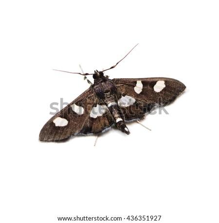 Grape Leafroller or Leaffolder moth (Desmia) on a white background - stock photo