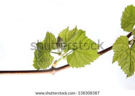 Grape leaves isolated - stock photo