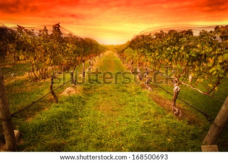 Grape vine at vineyard under idyllic sunset - stock photo