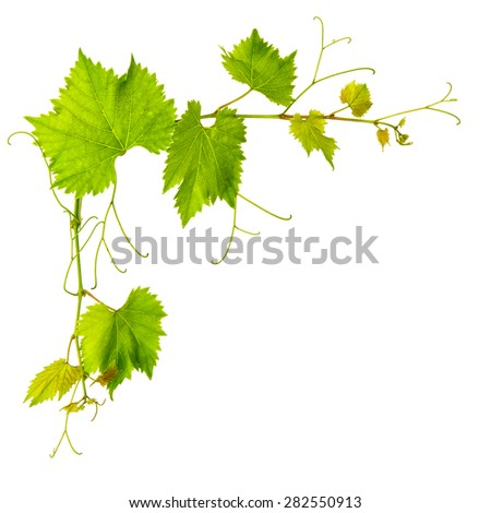Grape vine leaves isolated on white background. Nature object - stock photo