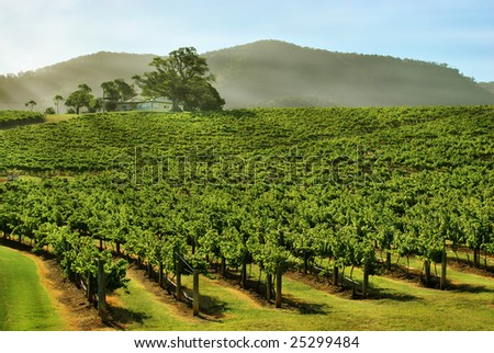 grape vines on a hill - stock photo