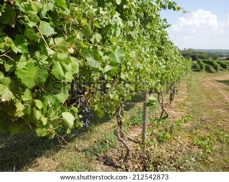Grape Vines/Vineyard - stock photo