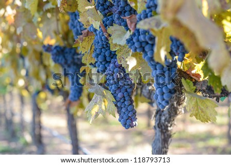 Grape Vineyard in Autumn - stock photo