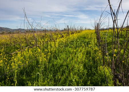 Grape vineyard in early spring, not yet pruned, with lush cover crop of yellow mustard.  - stock photo