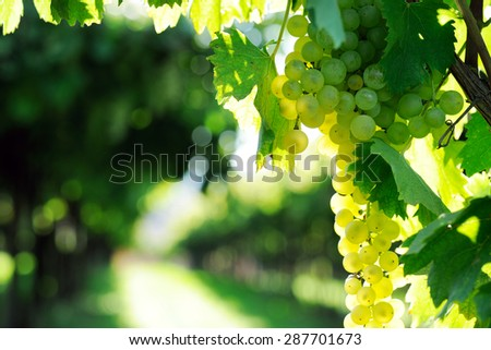 grapes at harvest time - stock photo