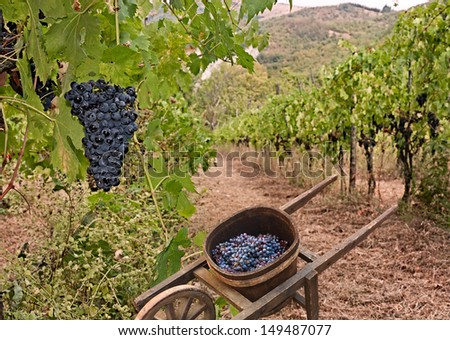grapes for production italian wine and old wheelbarrow for the transport in vineyard on the hills of Tuscany, Italy - stock photo
