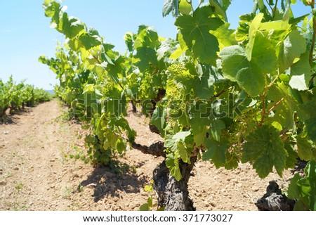 Grapes growing in mediterranean vines, Barcelona, Catalonia, Spain - stock photo