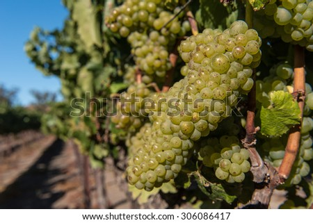 Grapes growing on the fine in California Sonoma Valley - stock photo