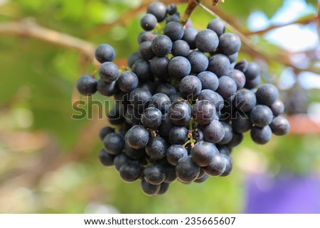 grapes hang from an old vine - stock photo