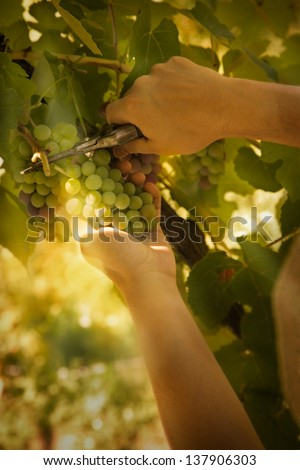 Grapes harvest. Farmer is harvesting ripe grapes in vineyard in autumn - stock photo