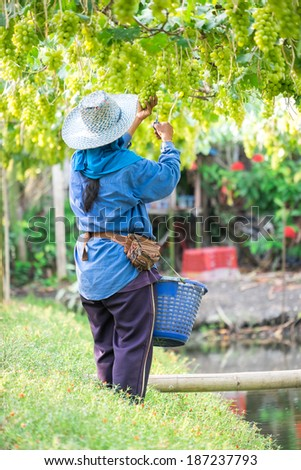 Grapes harvest. Farmer is harvesting ripe grapes in vineyard in Thailand - stock photo