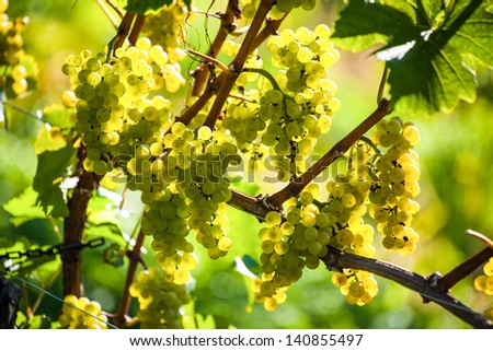 grapes in the vineyard of winemaker. vineyard in autumn. - stock photo