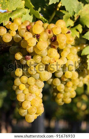 Grapes in the vineyards - stock photo