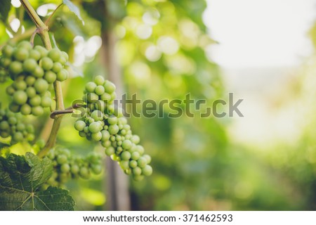 Grapes in vine - stock photo