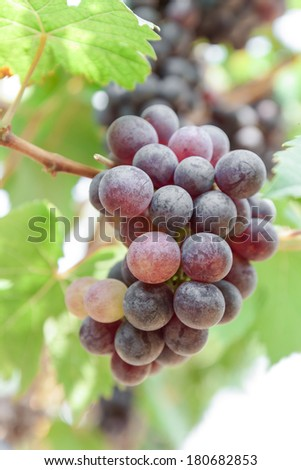 Grapes in vineyard - stock photo