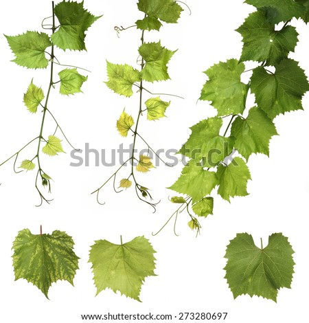 Grapes leafs on white background - stock photo