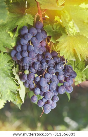 Grapes on a Vine. Bunch of red grapes on the vine ready to be picked. Soft and blur style for background. A photo with shallow depth of field  - stock photo