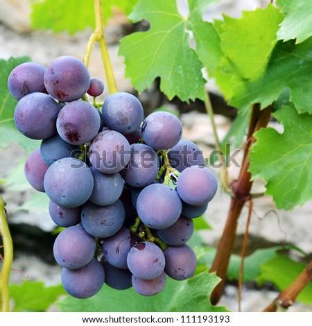 Grapes on bush - stock photo