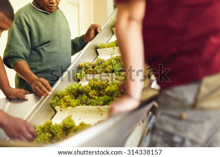 Grapes on conveyer Belt. Workers at a modern winery hand sort green grapes for making wine on a conveyor belt before they head to the crusher. - stock photo