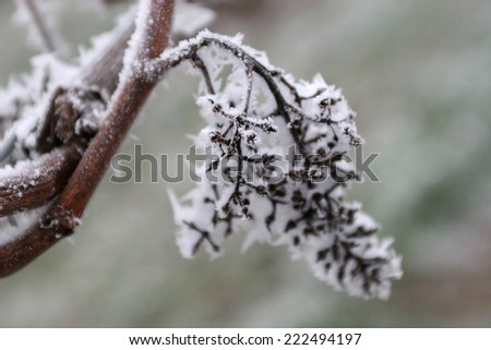 Grapes on frozen vineyard - stock photo