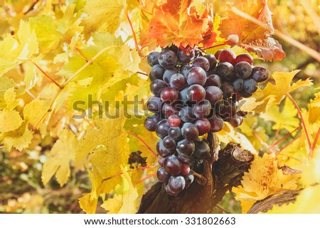 Grapes on the vine and golden leaves. Red grapes and vine leaves with autumn tints  in the sun. Soft and blur style for background. A photo with shallow depth of field - stock photo