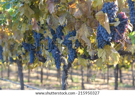 Grapes on the Vine in Autumn - stock photo