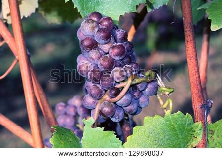 Grapes on the Vine, purple wine grapes ripe on the vine - stock photo