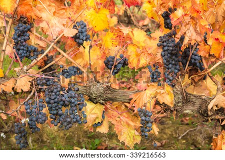 Grapes on the Vine Still in the Farmers Field created by a Master Vintner. - stock photo