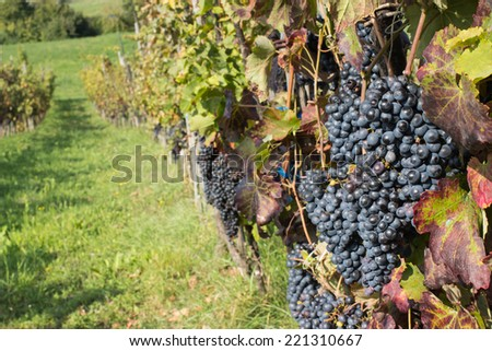 grapes ready to be picked and become delicious italyan wine - stock photo