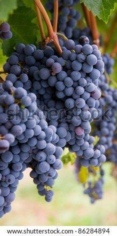 Grapes up close ripe food fruit clusters ready for harvest grape vine - stock photo