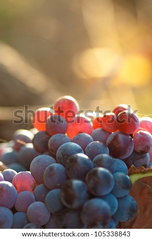 Grapes with blurred background - stock photo