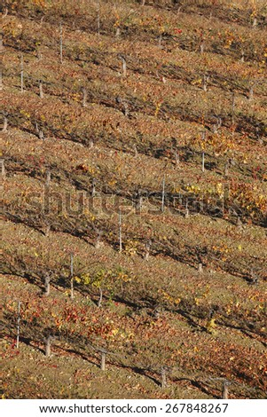 Grapevine field in autumn time. Olite, Navarra. Spain. Vertical - stock photo