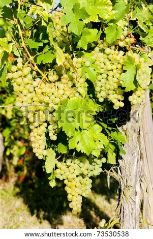 grapevine in vineyard, Alsace, France - stock photo