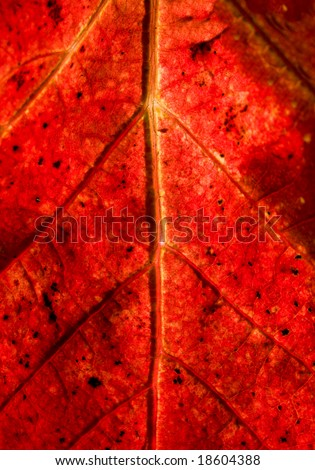 Grapevine leaf macro - stock photo