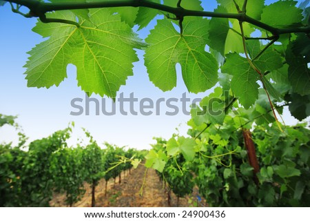 Grapevine plants in Napa Valley, California, USA. Shallow DOF. - stock photo