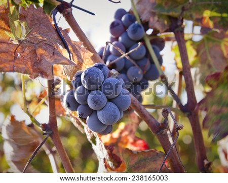 Grapevines at a vineyard in Central California. - stock photo