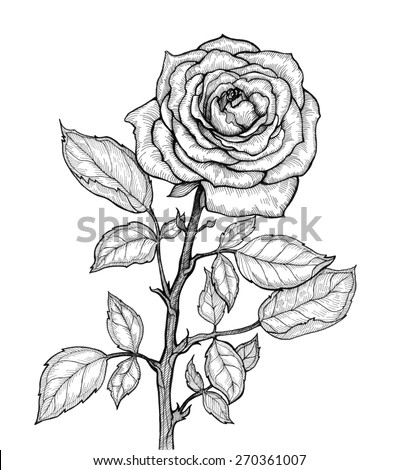 Graphic illustration of rose on a white background. Hand drawn artwork. Love concept for wedding invitations, cards, tickets, congratulations, branding. Gift for young girl and women - stock photo