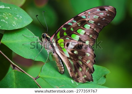 Graphium agamemnon butterfly of Cenatral America, Costa Rica - stock photo