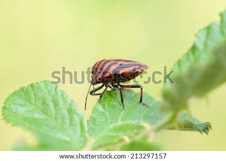 Graphosoma lineatum. Bedbug listed. - stock photo
