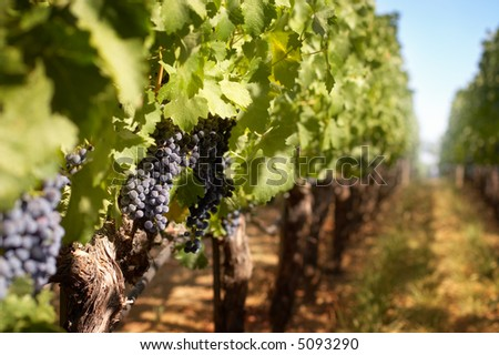 Grappes in a vineyard row - stock photo