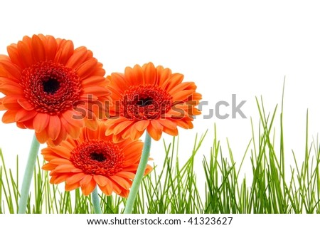 grass and gerbera daisy flower with copyspace for a text message - stock photo