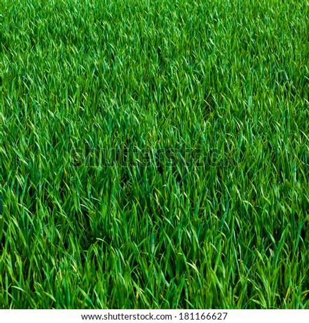 Grass background. Green grass texture - stock photo